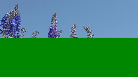 Blue flowers delphinium against the blue sky Live Action