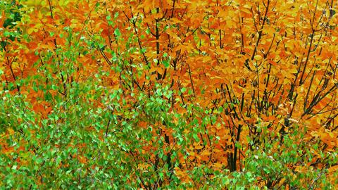 1080p Autumn Tree / Autumn Forest / Autumn Leaves Footage