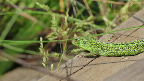 Sleepy Sand Lizard Sun Resting Footage