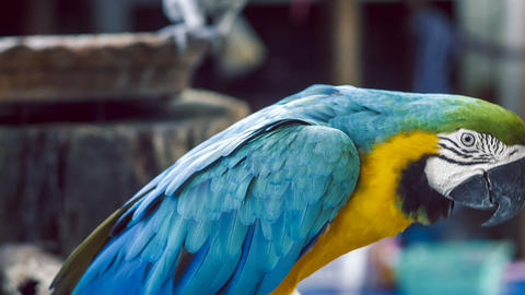 Blue yellow macaw parrot blue golden macaw parrot ara ararauna neotropical parrots macaws blue macaw Live Action