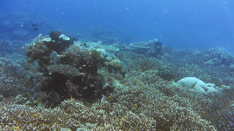 Snorkeling in the blue clear ocean water over rich coral reef melissa garden raja ampat indonesia Live Action