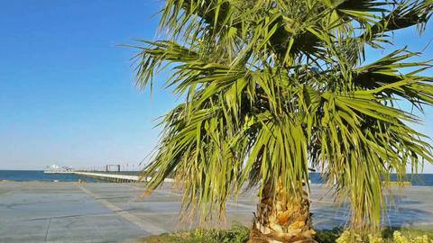 Palm tree on the boardwalk shaking with breeze Footage