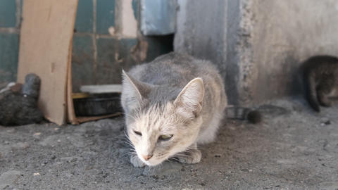 Homeless Gray Cat with Adult Kittens on the Street. Taking Care of Wild Animals Live Action