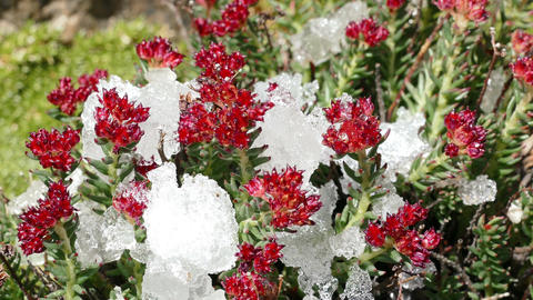 Snow Melting Red Flowers Drops Time Lapse 4K Animation
