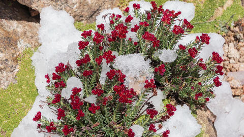 Red Flowers Snow Melting Mountains Time Lapse Footage