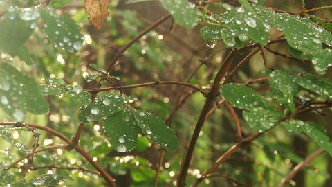 Honeysuckle Leaves With Water Drops Footage