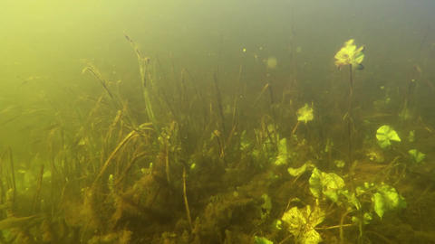 Flock of small roach fishes or Rutilus rutilus in large European river. Underwat Footage
