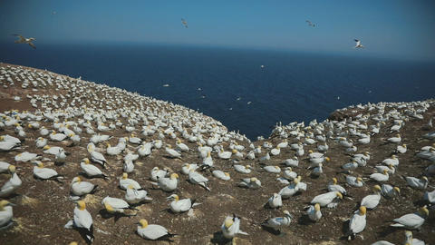 Real Time With Audio of Gannets Population in Percé, Qc Live Action