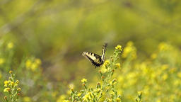 Swallowtail butterfly (Papilio machaon) sitting on yellow flower Footage