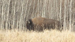 American Bison on Canadian Prairie Footage