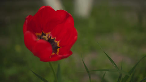 Red tulip flower close-up. Beautiful tulip on a green background of nature Live Action