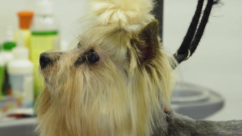 Dog in pet grooming salon Live Action