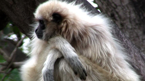 A white handed gibbon sits in a tree Footage