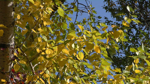 The wind rustles the fall leaves Stock Video Footage