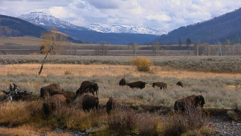 Buffalo and bison graze in Yellowstone National Park, Wyoming Footage