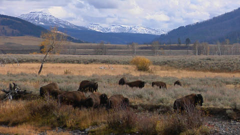 Buffalo and bison graze in Yellowstone National Park,... Stock Video Footage