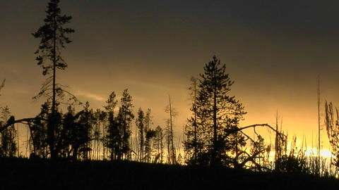 Burned and unburned trees stand in silhouette after a forest fire Footage