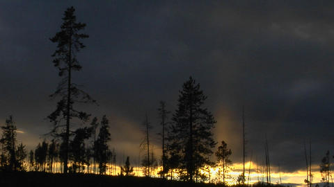 Trees that survived a forest in Yellowstone National Park stand in silhouette Footage