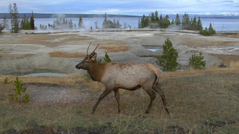 An elk grazes in Yellowstone National Park Stock Video Footage