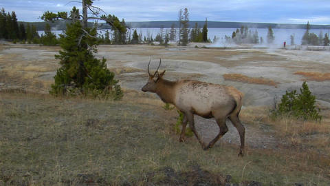 An elk grazes in Yellowstone National Park Footage