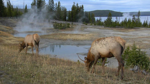 elks grazing in a field near a natural hot spring in... Stock Video Footage