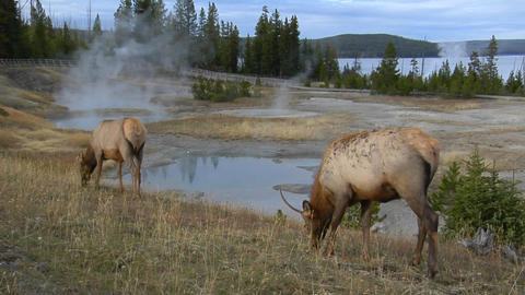 elks grazing in a field near a natural hot spring in Yellowstone National Park Footage