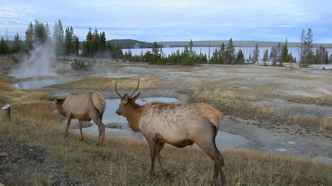 Elk graze near a natural hot spring in Yellowstone... Stock Video Footage