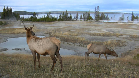 Elk graze near a natural hot spring in Yellowstone National Park Footage