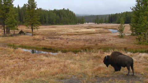 A bison grazes in a clearing at Yellowstone National Park Footage