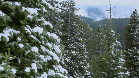 Snow covers pine trees at Yellowstone National Park Stock Video Footage