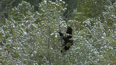 A black bear climbs to the top of a pine tree in Yellowstone National Park Footage