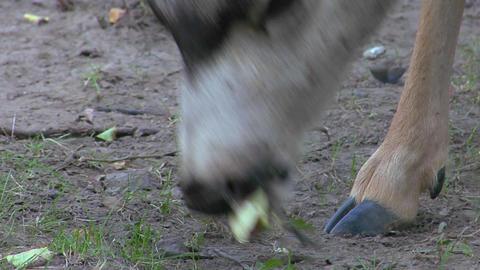 A deer chews fallen leaves Stock Video Footage