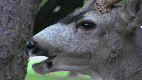 A deer chews fallen leaves Stock Video Footage