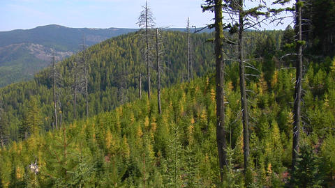 Evergreen trees grow in a recovering forest Stock Video Footage