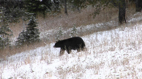 A black bear walks down a snowy hillside Footage