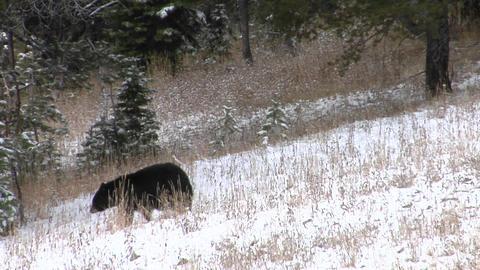 A black bear walks down a snowy hillside Stock Video Footage
