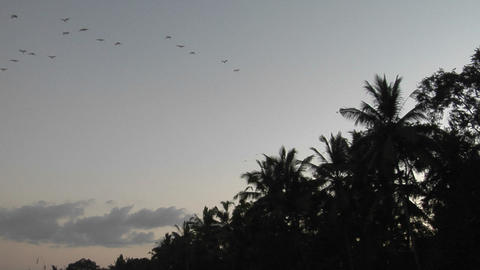 Palm trees and a flock of birds are high in the sky Footage