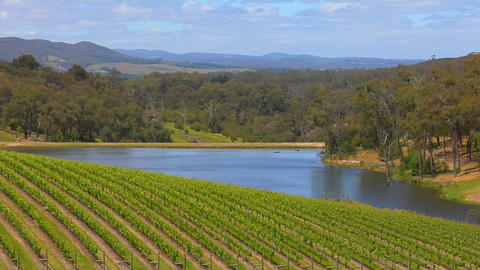 Grapes grow in the vineyards of Victoria, Australia Stock Video Footage