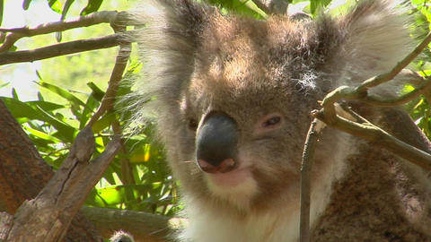 A koala bear peers out of a eucalyptus tree and scratches an itch Footage