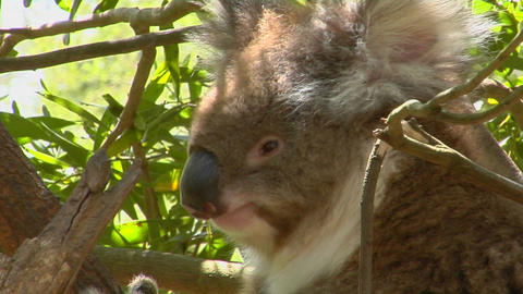 A koala bear peers out of a eucalyptus tree and scratches... Stock Video Footage