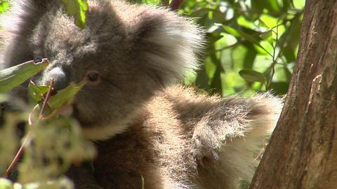 A koala bear sits calmly in a tree Stock Video Footage