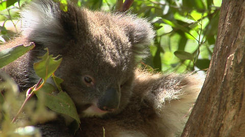 A koala bear sits calmly in a tree Footage