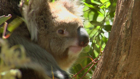 A koala bear sits in a tree Stock Video Footage