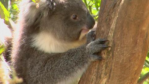 A koala bear sits in a tree Stock Video Footage