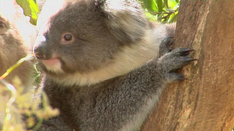 A koala bear sits in a tree Footage