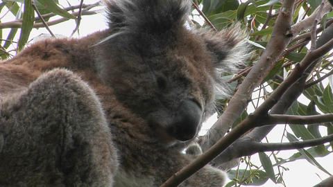 A koala bear scratches behind its ear while it sits in a... Stock Video Footage