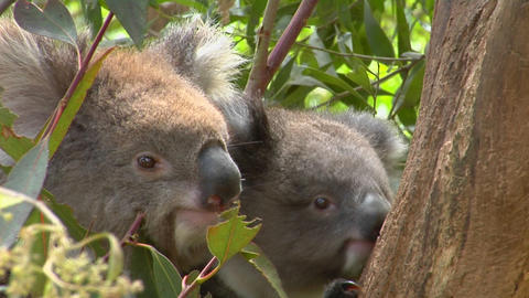 A mother and a baby koala bear sit in a tree Stock Video Footage