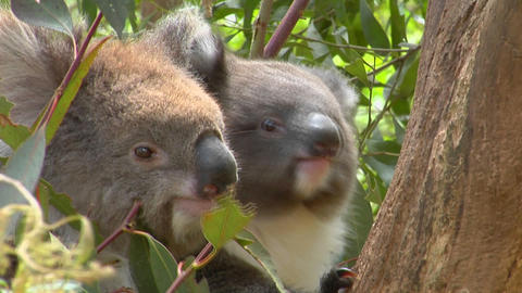 A mother and a baby koala bear sit in a tree Footage