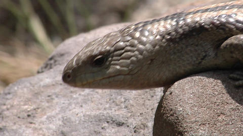 A lizard on a rock flicks its tongue and crawls forward Stock Video Footage