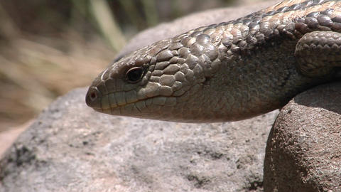 A lizard on a rock flicks its tongue and crawls forward Footage